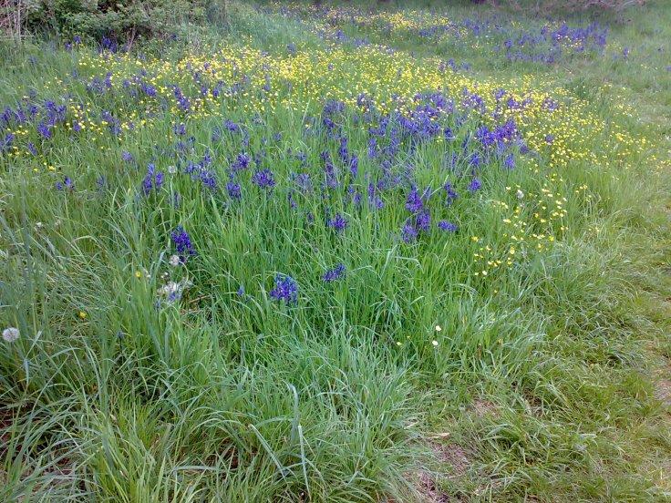Camus and daffodils in Beacon Hill Park, Victoria. (Photo: Alison Boston)