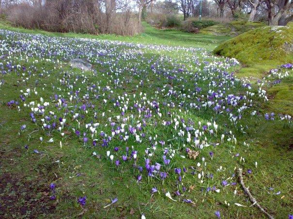 Crocus Beacon Hill Park - about 2 weeks ago - how time flies!